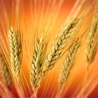 El camino del grano de trigo