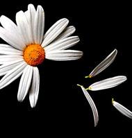 Una sencilla flor de campo